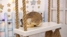 Fluffig beige kanin på en gungbräde arkivfilmer