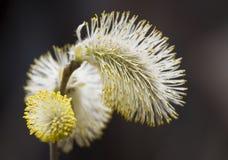 fluffig blomma Royaltyfria Bilder