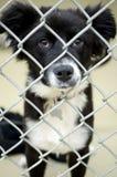 Fluffig Border collie valp i för hundkojahund för chain sammanlänkning pund Fotografering för Bildbyråer