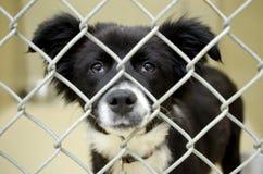 Fluffig Border collie valp i för hundkojahund för chain sammanlänkning pund Arkivfoto