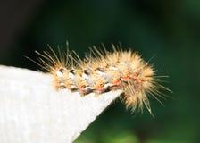 fluffig caterpillar Arkivfoto