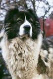 Fluffig Caucasian herdehund i gården Vuxen Caucasian Shephe Royaltyfria Bilder