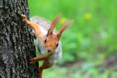 Fluffig ekorre på trädet Royaltyfria Bilder