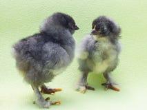 Fluffig fågelunge Royaltyfria Foton