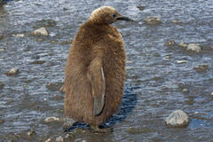 Fluffig fågelunge av en konungpingvin som plattforer i muden Royaltyfri Bild