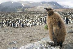 Fluffig fågelunge för konungpingvin Arkivfoto