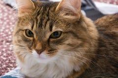 Fluffig grå härlig kattunge Royaltyfri Bild
