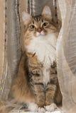 Fluffig grå härlig kattunge Arkivbilder