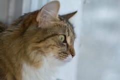 Fluffig grå härlig kattunge Royaltyfria Foton
