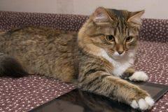 Fluffig grå härlig kattunge Fotografering för Bildbyråer