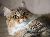 Fluffig grå härlig kattunge Arkivfoton