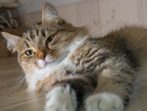Fluffig grå härlig kattunge Arkivfoto