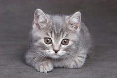 fluffig grå kattunge arkivbild
