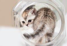 Fluffig grå kattunge i en rund krus Stående av en kattnärbild, sikt från baksidan Begreppet av husdjur och katter royaltyfria bilder