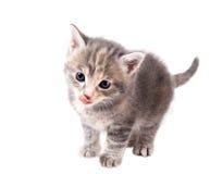 Fluffig grå kattunge som slickar hans kanter på vit bakgrund arkivbilder