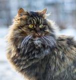 fluffig gray för katt Fotografering för Bildbyråer