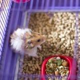 Fluffig hamster i en bur Roligt syrianskt angorahusdjur fotografering för bildbyråer