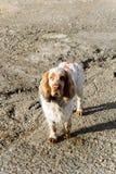 fluffig hund för vit och för brunt royaltyfri fotografi