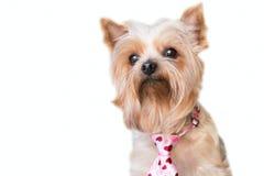 Fluffig hund med ett hjärtaband Royaltyfri Foto