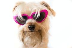 Fluffig hund med solglasögon Arkivfoton