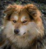 Fluffig hund med uppmärksamma ögon Fotografering för Bildbyråer