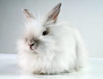 fluffig kaninwhite Royaltyfri Fotografi