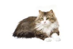 Fluffig katt royaltyfri foto