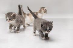 fluffig kattunge little Fotografering för Bildbyråer