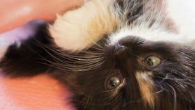fluffig kattunge little stock video