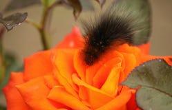 Fluffig larv på en ros Fotografering för Bildbyråer