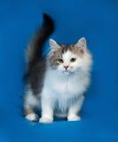 Fluffig liten vit kattunge med fläckar som står på blått Royaltyfria Bilder