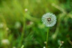 Fluffig maskros i blom Vårmaskrosen blommar naturbakgrund för grönt gräs arkivbild