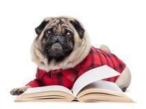 Fluffig mopshund som lägger undan den öppna boken arkivbild