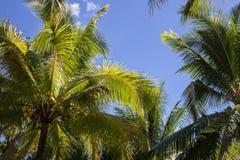 Fluffig palmblad på bakgrund för blå himmel Optimistiskt tropiskt landskapfoto Exotiskt ställe för semester arkivbild