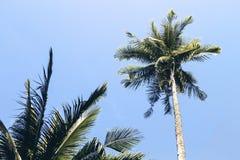Fluffig palmträdkrona på solig bakgrund för blå himmel Retro tonat foto Royaltyfri Fotografi