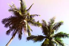 Fluffig palmträdkrona på solig bakgrund för blå himmel Romantiska rosa färger tonat foto Royaltyfria Bilder