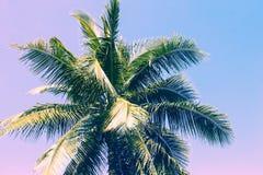 Fluffig palmträdkrona på solig bakgrund för blå himmel Romantiska rosa färger tonat foto Royaltyfri Foto
