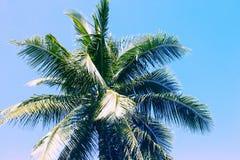 Fluffig palmträdkrona på solig bakgrund för blå himmel Tonat foto för blå gräsplan Royaltyfri Bild