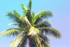 Fluffig palmträdkrona på solig bakgrund för blå himmel Tonat foto för tappning rosa färger Royaltyfria Foton