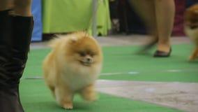 Fluffig Pomeranians utbildning med ägare på hundutställningen, fullblodhusdjur stock video