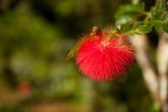 Fluffig röd blom av det tropiska Calliandra trädet på Kuba Arkivbild