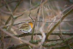Fluffig röd robin i vinter Arkivfoto