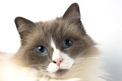Fluffig ragdollkatt med blåa ögon Arkivfoton