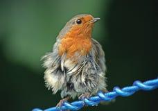 fluffig robin Royaltyfria Foton