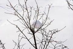 Fluffig snö på en buske i vinter arkivbilder