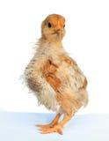 fluffig soft för fågelunge Royaltyfria Bilder
