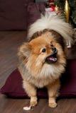 Fluffig svans för hund` s och smakliga kakor Royaltyfri Foto