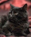 Fluffig svart katt Arkivfoto