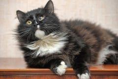 Fluffig synad katt Arkivfoton