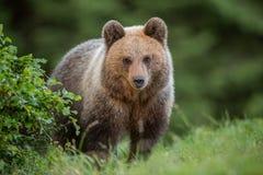 Fluffig ung brunbjörn, ursusarctos, i sommar arkivfoton